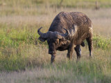 African Buffalo, Syncerus Cafer, in the Grasslands Photographic Print by Roy Toft