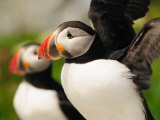 Atlantic Puffins Up Close. One Is About to Fly Away Photographic Print by Darlyne A. Murawski
