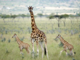 Rothschild's Giraffe and Two Young in Ruma Park, Kenya Photographic Print by Mark Ross