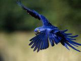 Hyacinth Macaw in Flight Stampa fotografica di Sartore, Joel