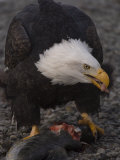 Adult Bald Eagle (Haliaeetus Leucocephalus), Alaska Photographic Print by Michael S. Quinton