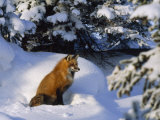 Red Fox Among Evergreens in a Snowy Landscape Lámina fotográfica por Norbert Rosing