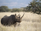 Endangered Species Black Rhino and Calf in Kenya Photographic Print by Mark Ross