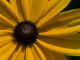 Close-up Detail of a Black-Eyed Susan Flower Photographic Print by Paul Sutherland