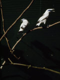 Rare and Almost Extinct Bali Starlings in a Cage Photographic Print by Eightfish