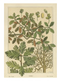 Oak Tree Prints by M.P. Verneuil