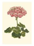 Pink Geranium III Giclée-Premiumdruck von  Van Houtt