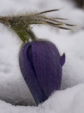 Pasque Flower after Spring Snow Photographic Print by Michael S. Quinton
