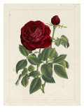 Van Houtteano Rose II Lámina