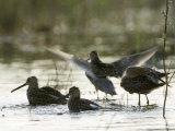 Long Billed Dowitcher (Limnodromus Scolopaceus), Alaska Photographic Print by Michael S. Quinton