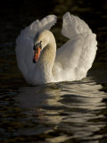 Mute Swan, Cygnus Olor, in Aggressive Posture Called Busking Photographic Print by John Cancalosi