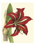 Amaryllis I Prints by  Cooke