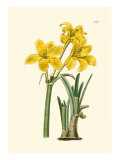 Yellow Narcissus I Plakater af Van Houtt