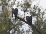 Pair of African Fish Eagles Perched on a Tree Limb Photographic Print by Roy Toft