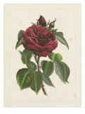 Van Houtteano Rose I Print