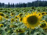 Field of Sunflowers in the Tuscan Countryside Photographic Print by Gina Martin