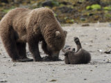 Alaskan Brown Bear Parent Foraging with Her Playful Cub Photographic Print by Roy Toft
