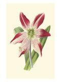 Amaryllis Blooms IV Prints by  Van Houtteano