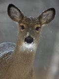 Female White-Tailed Deer, Odocoileus Virginianus, in a Snow Shower Photographic Print by John Cancalosi