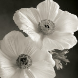 Poppy Study I Posters par Sondra Wampler