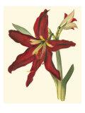 Amaryllis II Premium Giclee Print by  Cooke