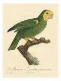 Barraband Parrot No. 98 Posters av Jacques Barraband