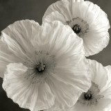 Poppy Study IV Posters by Sondra Wampler