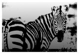 Zebra Chrome I Prints by Susann & Frank Parker