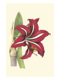 Amaryllis Blooms I Poster by  Van Houtteano