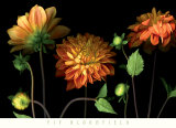 Orange Dahlia Garden Prints by Pip Bloomfield