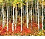 Aspen Grove Prints by John Scanlan