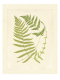 Ferns with Platemark V Posters