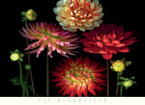Dahlia Garden Posters by Pip Bloomfield
