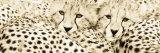 Cheetahama Affischer av Susann & Frank Parker