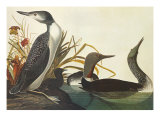 Red-Throated Diver Reproduction procédé giclée par John James Audubon