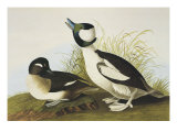 Buffel-Headed Duck Art by John James Audubon
