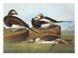 Long-Tailed Duck Prints by John James Audubon