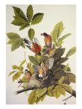 Rouge-gorge américain Posters par John James Audubon