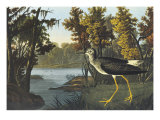 Yellow Shank Art by John James Audubon