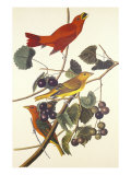 Summer Red Bird Prints by John James Audubon