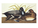 Scaup Duck Prints by John James Audubon