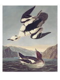Smew Or White Nun Prints by John James Audubon