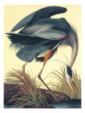 Grand héron bleu Reproduction procédé giclée par John James Audubon