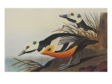 Western Duck Print by John James Audubon