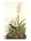 Tawny Thrush Art by John James Audubon