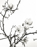 Branch of Magnolia Art by Henry Wilson