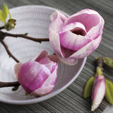Magnolia on a Bowl Poster by Catherine Beyler