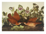 Key-West Dove Giclee Print by John James Audubon