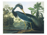 Héron de la Louisiane Reproduction procédé giclée par John James Audubon