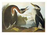 Red-Necked Grebe Reproduction procédé giclée par John James Audubon